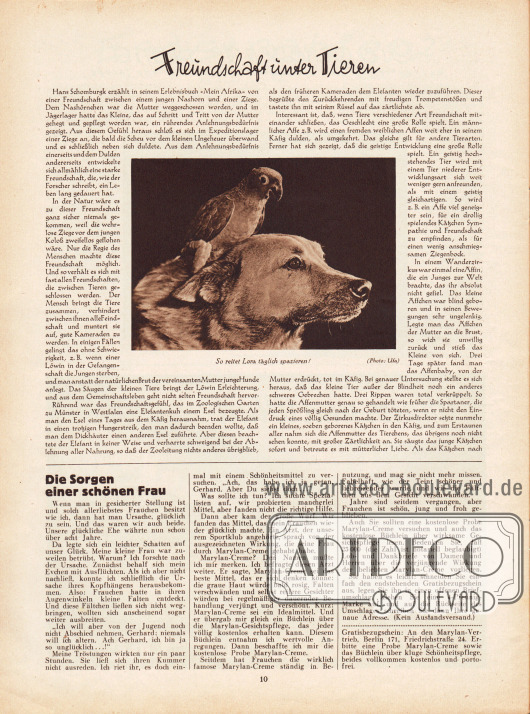 """Artikel:O. V., Freundschaft unter Tieren.Das Foto zum Artikel zeigt einen Papageien, der auf dem Nacken eines Hundes sitzt. Die Bildunterschrift lautet """"So reitet Lora täglich spazieren!"""". Foto: Ufa.Werbung:Marylan-Creme, Merylan-Vertrieb Berlin 171, Friedrichstraße 24."""